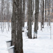 Collecting sap for maple syrup production — Stock Photo #21971601
