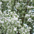 Blossoming pear trees — Stock Photo