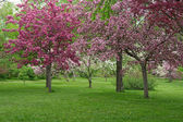 Beautiful blooming orchard — Stock Photo