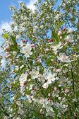 Cerisier en fleurs — Photo