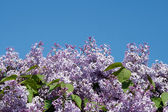 Blooming lilacs on blue sky background — Stock Photo