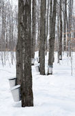 Collecting sap for maple syrup production — Stock Photo