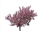 Blooming plum tree, isolated — Stock Photo