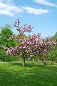 Bloeiende boom op een groene gazon — Stockfoto