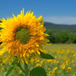 Sunflower in the summer field — Stock Photo