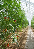 Tomatoes in a sunny greenhouse — Stock Photo