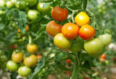Bunches of tomatoes in a greenhouse — Стоковое фото