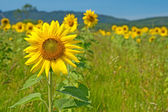 Sunflower field with mountains on the horizon — Stock Photo