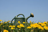 Watering-can in dandelion field — Стоковое фото