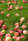 Fallen apples in green grass — Stock Photo