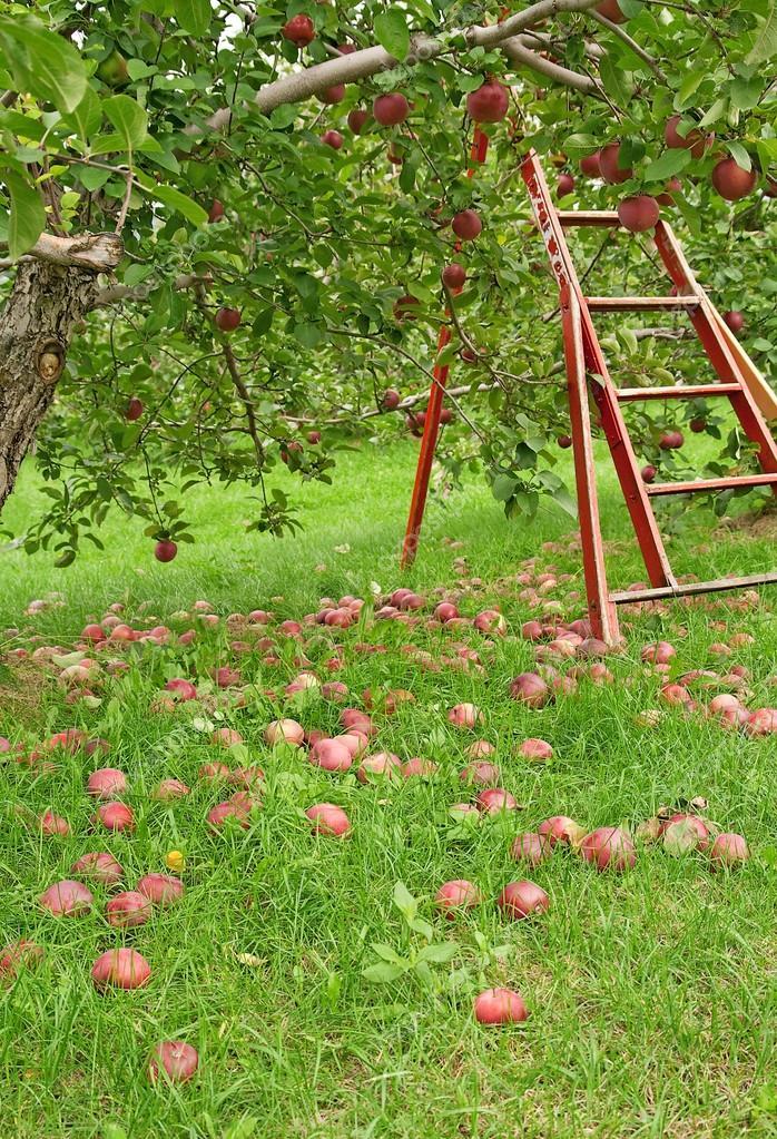 与木梯子去接苹果绿色果园— 照片作者 goodmoodphoto