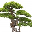 Bonsai, green elm tree on white background — Stock fotografie