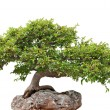 Green bonsai tree growing on a rock — ストック写真