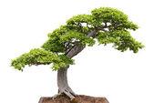 Green bonsai tree on white background — Stock Photo