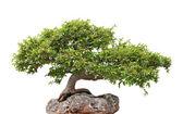 Vert bonsaï poussant sur un rocher — Photo