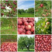 Apple season — Stock Photo