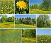Blooming dandelions in spring garden — Stock Photo
