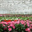 Greenhouse with large variety of cultivated flowers. — Stock Photo #22380157