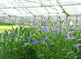 голубые цветы в парнике — Стоковое фото