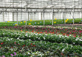 Flower nursery. Greenhouse with cultivated plants. — Stock Photo