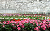 Greenhouse with large variety of cultivated flowers. — Stock Photo