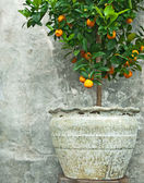 Tangerine tree in old clay pot — Stock Photo