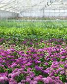Lila blommor blommar i ett växthus — Stockfoto