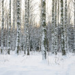 Birch tree forest in winter — Stock Photo #22524125
