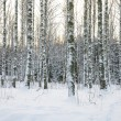 Birch tree forest in winter - Stock Photo