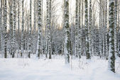 Birch tree forest in winter — Stock Photo