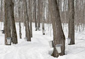 Traditional maple syrup production — ストック写真