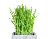 Fresh wheatgrass in square pot — Stock Photo