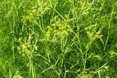 Dill growing in the garden — Stock Photo