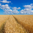 Path in a golden wheat field — Stock Photo