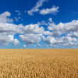 Golden wheat field under blue sky — Stockfoto