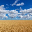 Golden wheat field under blue sky — Stock Photo