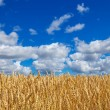 Wheat field under blue sky with clouds — Stock Photo