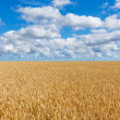 Rural landscape, wheat field under blue sky — Stock Photo