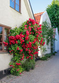 Swedish town Visby, famous for its roses — Stock Photo