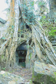 Poplar roots infested by a Angkor Bayon — Stockfoto
