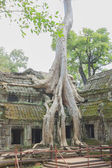 Poplar roots infested by a Angkor Bayon — Stock Photo