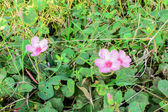 Rosa wildblumen — Stockfoto