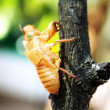 Stock Photo: Treatment of cicada