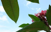 Frangipani with the blue sky — Stock Photo