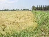 Verdant rice paddies — Stock Photo