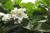 Flor blanca con unas gotas de agua — Foto de Stock