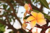 Yellow Frangipani — Stock Photo