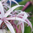 Crinum Lily — Stock Photo #45707241
