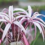 Crinum Lily — Stock Photo #45707249