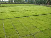 Culturas verdes na demonstração agrícola — Foto Stock